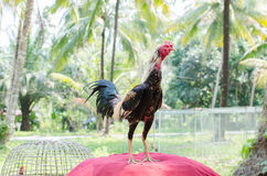 Thai gamecock standing on the house. Stock Images