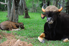 thai gaur Royaltyfria Foton