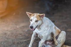 Thai Gene Dog. White and brown royalty free stock photo