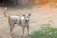 Thai Gene Dog. White and brown stock photos