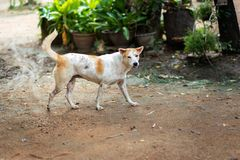 Thai Gene Dog. White and brown stock photography