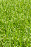 Thai gospodarstwo rolne Fotografia Stock
