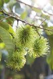 thai grön rambutan Arkivbilder