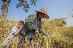 A Thai grandmother and her grandson working in a rice field in northeastern Thailand during the harvest period Stock Photography