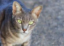 Thai gray cat face. Close up of Thai gray cat face Stock Photos