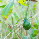 Thai Green Eggplant Royalty Free Stock Images