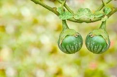 Thai green eggplant on tree Stock Images