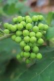 Thai Green Eggplant on tree Stock Photography