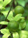 Thai green lemon Tree Royalty Free Stock Photography