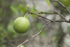 Thai green Lemons. On a branch in the garden Stock Photos