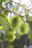 Thai green rambutan Stock Images