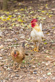 Thai hen whith Thai Roosters Stock Photography