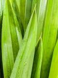 Thai herbal ingredient spas pandanus leaf,sweet and earthy aroma Royalty Free Stock Images