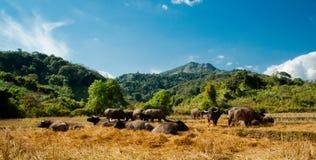 Thai Buffalo with herd Stock Photos