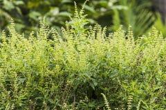 Thai Holy Basil vegetable herb flower Stock Photos