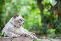 Thai house cat, Siamese cat species lay on wooden.  Royalty Free Stock Image