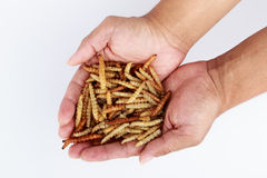 Thai Insects, Fried insects mealworms for snack. Royalty Free Stock Images