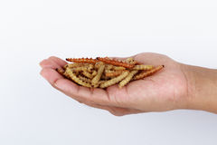 Thai Insects, Fried insects mealworms for snack. Stock Images