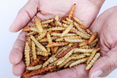 Thai Insects, Fried insects mealworms for snack. Stock Photos