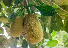 Thai jackfruit on the tree in garden Close-up stock photo