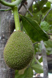 Thai Jackfruit on the tree. Stock Image