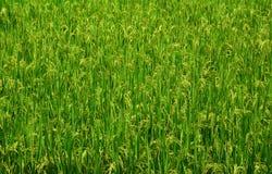 Thai jasmine field rice Royalty Free Stock Photo