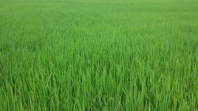 Thai jasmine rice. Thai jasmine field planted foe 2 months Royalty Free Stock Photography