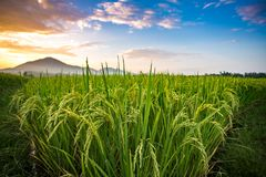 Thai jasmine rice paddy fields. In Phrao, Chiang Mai, Thailand royalty free stock image