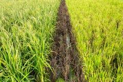 Thai Jasmine Rice plant Stock Photo