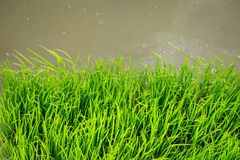 Thai Jasmine Rice plant in the field with flood water planting agriculture. Green Chlorophyll Organic food concept Royalty Free Stock Images
