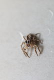 Thai jump spider Stock Photography