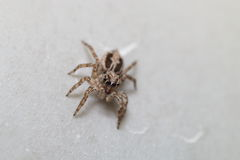 Thai jump spider Stock Image