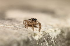 Thai jump spider Stock Photo