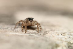 Thai jump spider Stock Photos