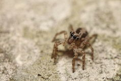 Thai jump spider Royalty Free Stock Images