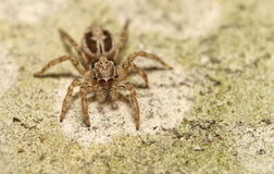 Thai jump spider Stock Images