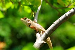 thai kameleont Arkivfoton