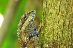 thai kameleont Arkivfoto