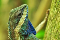 thai kameleont Arkivbilder