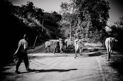 Thai hill tribe Cattle farmer Royalty Free Stock Photography