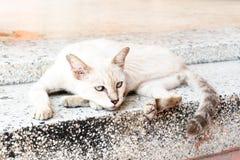 thai katt Royaltyfria Bilder