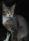 thai katt royaltyfri bild