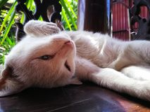 thai katt Royaltyfria Foton