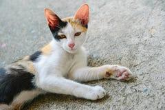 Thai katt Arkivbild