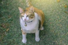 thai katt som är gullig på hem- blured bakgrund genom att använda tapeten eller bakgrund angus royaltyfria bilder
