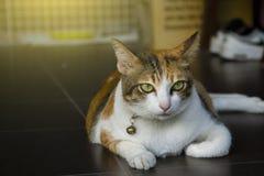thai katt som är gullig på hem- blured bakgrund genom att använda tapeten eller bakgrund angus fotografering för bildbyråer