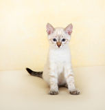 thai kattunge Arkivfoto