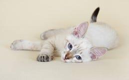 thai kattunge Arkivbild