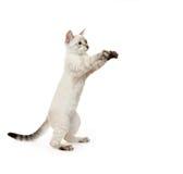 thai kattunge Arkivbilder
