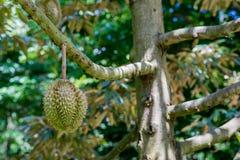 Thai King fruit Royalty Free Stock Image